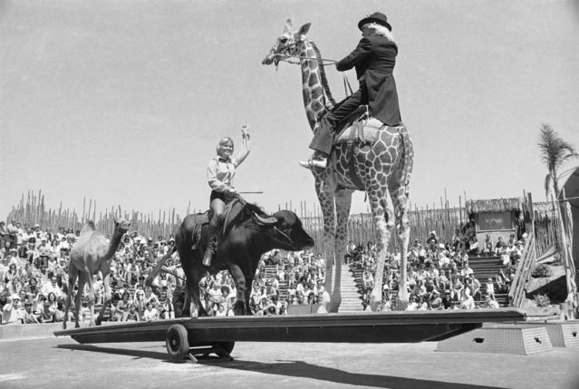 A camel, water buffalo and giraffe form an odd teeter-totter trio during the daily show at Africa USA Marine World in Redwood City, Calif., August 17, 1972. Trainer Fess Reynolds sits on the giraffe, while Ronna Snyder, another trainer, rides the water buffalo whose shifting weight provides the teeter-tottering power. (Photo by Richard Drew/AP Photo)