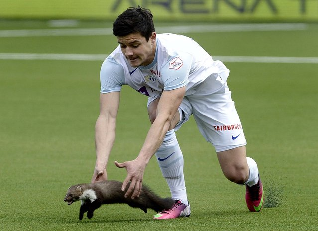 Zurich soccer player Loris Benito tries to catch a marten during the Swiss Super League  match between FC Thun and FC Zurich in Thun, Switzerland. (Marcel Bieri/Keystone)