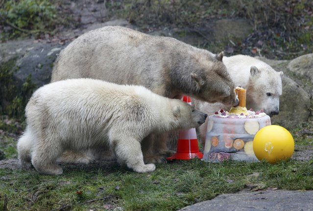 Polar bear Giovanna (C) and her twin polar bears Nela and Nobby eat an ice cake with fresh fruit and cream to celebrate their first birthday in their enclosure at Tierpark Hellabrunn zoo in Munich December 9, 2014. (Photo by Michaela Rehle/Reuters)
