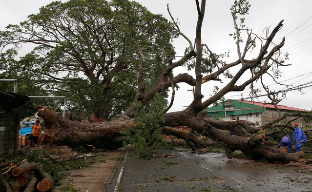 Government workers cut branches of an uprooted tree along a road after Typhoon Haima struck Laoag city, Ilocos Norte in northern Philippines, October 20, 2016. (Photo by Erik De Castro/Reuters)