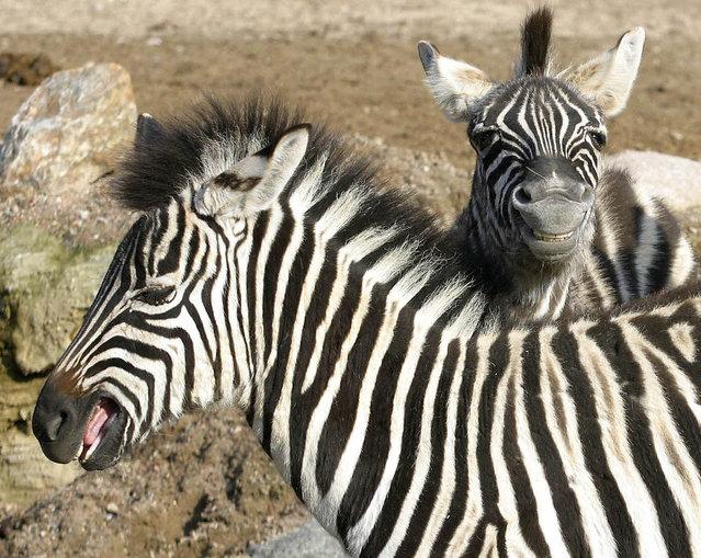 Zebras at the Hagenbeck Zoo in Hamburg, Germany on January 2, 2015. (Photo by Werner Struss/StartraksPhoto)