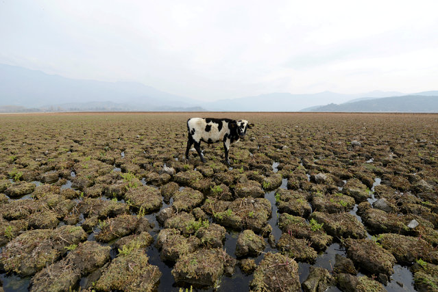 A cow is seen on land that used to be filled with water, at the Aculeo Lagoon in Paine, Chile, May 14, 2018. (Photo by Matias Delacroix/Reuters)