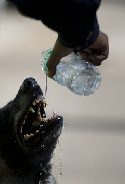 A federal policeman shares his water with his police dog, as he stands outside the police cordon, a day after a gas tank truck exploded outside a maternity hospital, causing most of the building to collapse, in Cuajimalpa on the western edge of Mexico City, Friday, January 30, 2015. The blast occurred Thursday morning, when the truck was making a routine delivery of gas to the hospital kitchen and gas started to leak. (Photo by Rebecca Blackwell/AP Photo)