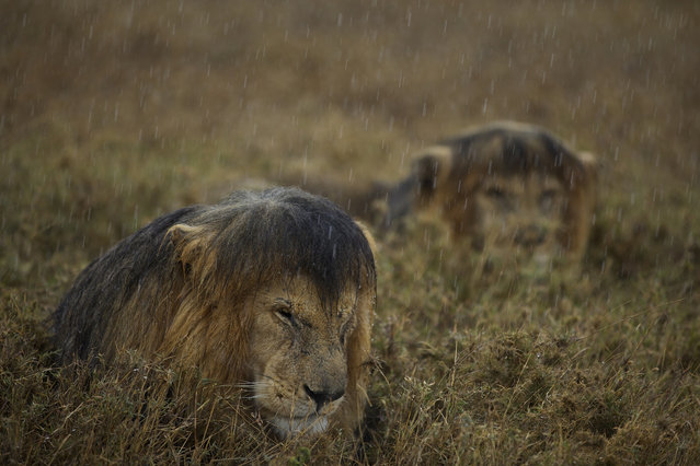 """""""Sharing a shower"""". Animals in Their Environment, Michael Nichols, National Geographic, USA. Scientists have long thought that the main reason that lions band together is to hunt – that food, essentially, is the evolutionary force behind their social bonds. Recently, though, it has emerged that the close bonds between males are molded by another pressure: the actions of mutual rivals. C-Boy, a black-maned male lion, and his coalition partner Hildur, once controlled a superior territory in Tanzania's Serengeti National Park, but they were deposed by a squad of four males known to researchers as the Killers. Nick came across C-boy and Hildur hunkered down in the rain. Though he had spent many months photographing Serengeti lions, he had spent most of his time with larger prides of females. 'I had never before seen these two senior coalition males together,' he says. They were used to the car that Nick was in, so he was able to use a simple zoom lens and ambient light. The rain isn't as unwelcome as their expressions suggest: when water is scarce, the closely bonded pair lick drops from their own and each other's fur. Canon EOS-1D X + 70-200mm f2 lens; 1/350 sec at f2.8; ISO 400. (Photo by Michael Nichols)"""