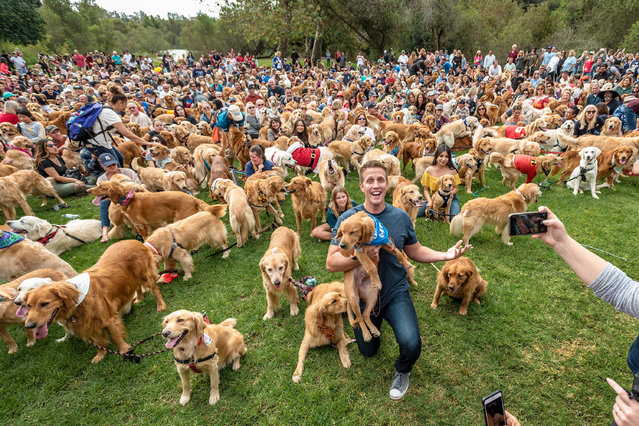 Alamy Live News. PWBD3B Huntington Beach, USA. 14th Oct, 2018. Huntington Beach, CA. Hundreds of golden retrievers gather at the Huntington Central Park for the 2nd annual Goldie Palooza event, benefiting rescues in the Los Angeles area and Puerto Rico on Sunday, October 14, 2018. (Photo by Benjamin Ginsberg/Alamy Live News)