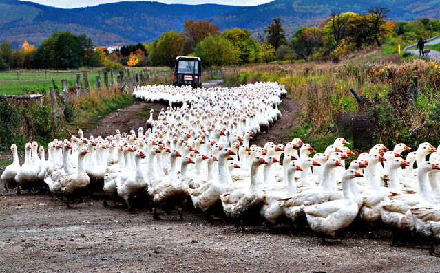 Geese of the Landi GmbH poultry farm are driven to their barn on October 21, 2013 in Veckenstedt, central Germany. The company brings up around 8,000 geese per year. Roast goose is a traditional dinner in Germany at Christmas and Martinmas. (Photo by Matthias Bein/AFP Photo/DPA)