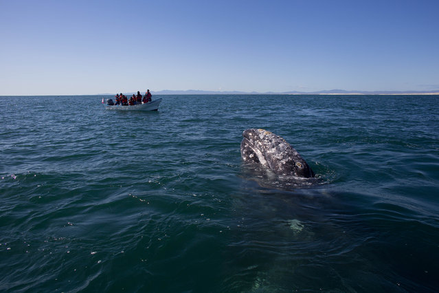 In this March 3, 2015 photo, visitors aboard a boat watch as a gray whale surfaces in the Pacific Ocean waters of the San Ignacio lagoon, near the town of Guerrero Negro, in Mexico's Baja California peninsula. Hunted to the edge of extinction in the 1850's after the discovery of the calving lagoons, and again in the early 1900's with the introduction of floating factories, the gray whale was given full protection in 1947 by the International Whaling Commission. (Photo by Dario Lopez-Mills/AP Photo)