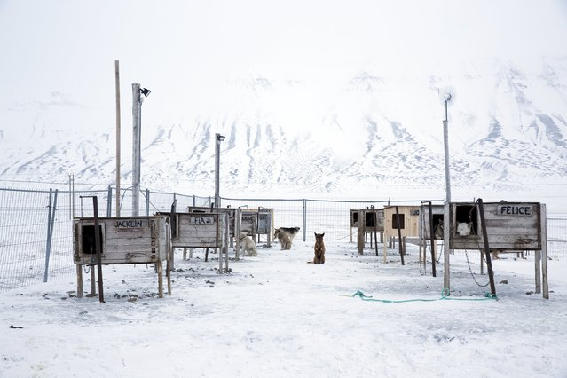 Dogs, some that are family pets and others that are used for dog sledges, are seen waiting in their yard outside the settlement in Longyerbyean, Svalbard, Norway, October 22, 2015. (Photo by Anna Filipova/Reuters)