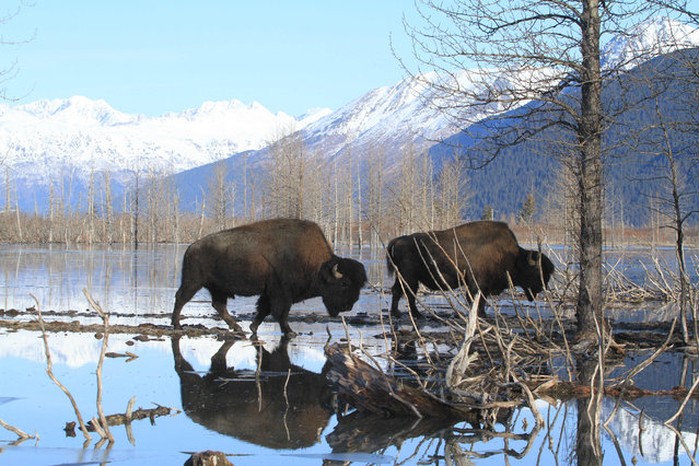 Two wood bison bulls weighing upward of 2,000 pounds move toward higher ground at the Alaska Wildlife Conservation Center on Sunday, March 22, 2015, in Portage, Alaska. The Alaska Department of Fish and Game on Sunday moved the first wood bison to a staging area in Shageluk, Alaska, for reintroduction in a few week to their native Alaska grazing grounds. Wood bison, which are larger than plains bison native found in Lower 48 states, disappeared from U.S. soil more than a century ago. (Photo by Dan Joling/AP Photo)