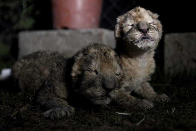 African lion cubs, Fajer, right, and his sister, Sejeel, left, rest after feeding at Besan Zoo in Beit Lahiya, northern Gaza Strip, Tuesday, November 19, 2013. (Photo by Hatem Moussa/AP Photo)