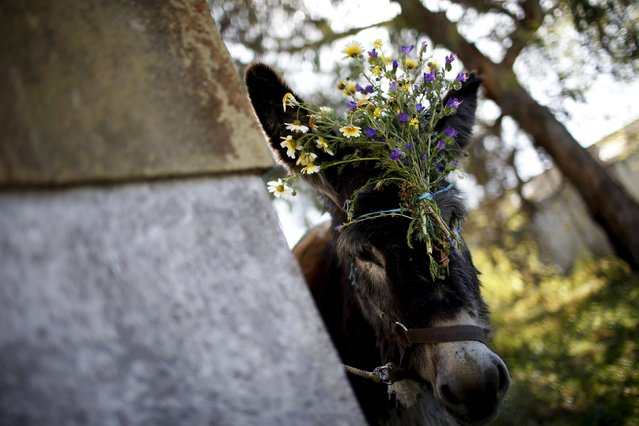 "A donkey is seen before the start of the procession of the ""Virgem da Atalaia"" during Holy Week at Alcochete, near Lisbon April 5, 2015. (Photo by Rafael Marchante/Reuters)"