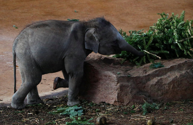 An Asian elephant eats a used Christmas tree at the zoo in Cologne, Germany January 12, 2017. (Photo by Wolfgang Rattay/Reuters)