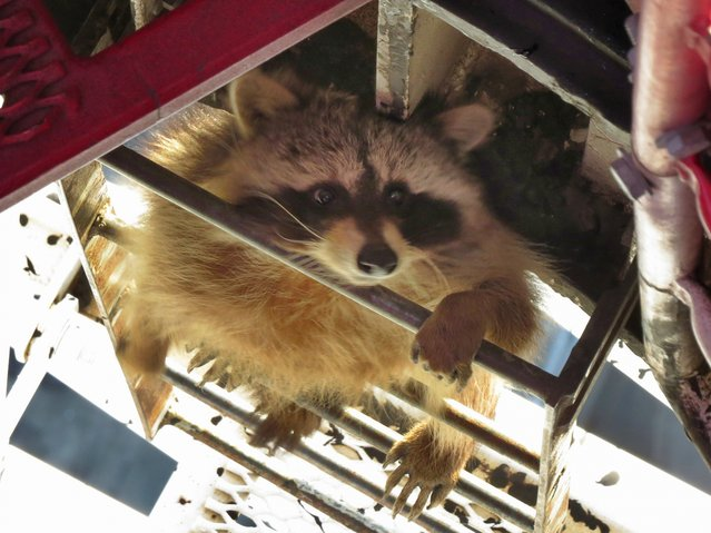 In this Thursday, April 16, 2015 photo provided by Robert MacFarlane, a raccoon climbs up a skyscraper in downtown Toronto. Social media was abuzz Thursday with the photo of the raccoon peering from between the metallic rungs of a crane 58 stories high. (Photo by Robert MacFarlane)