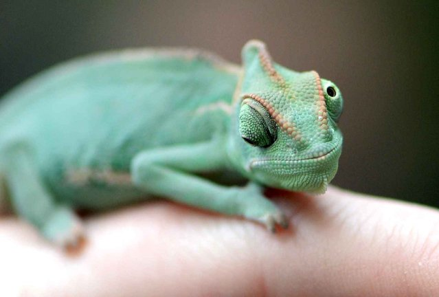 A veiled chameleon, also known as Yemen chameleon, sits on the finger of a keeper during an animal inventory at the Biosphere Potsdam tropical plants and animal park in Potsdam, eastern Germany, on January 2, 2014. (Photo by Ralf Hirschberger/AFP Photo/DPA)