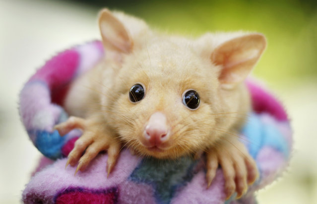 An animal keeper wraps a six-month-old Golden Brushtail Possum in a blanket at Wildlife Sydney animal park March 7, 2012. Although rare, the Golden Brushtail Possum is still found in the wild in areas of Tasmania, an island state south of the Australian mainland. (Photo by Tim Wimborne/Reuters)