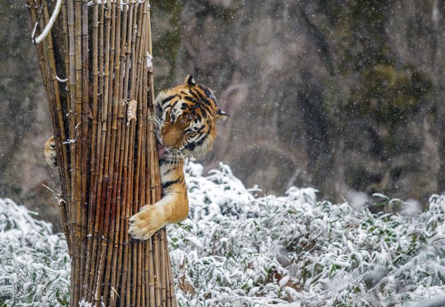 A tiger clutches a stack of bamboo in the snow at a zoo in Hangzhou, Zhejiang province, February 9, 2014. Picture taken February 9, 2014. (Photo by Reuters/Stringer)