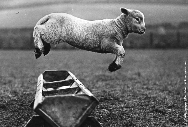 A lamb jumping over a trough