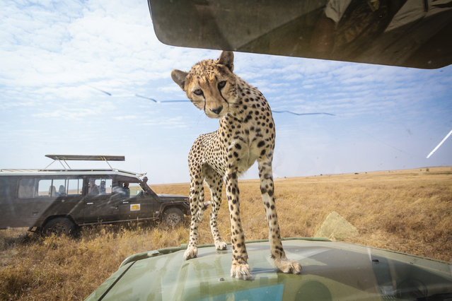 The cheetah peers inside the car to see who is inside. (Photo by Bobby-Jo Clow/Caters News)