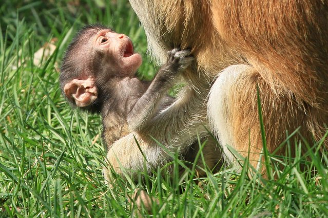 A ten-day-old Patas Monkey baby holds on to its mothers at the zoo in Olomouc, Central Moravia, Czech Republic on March 31, 2014. (Photo by Radek Mica/AFP Photo)