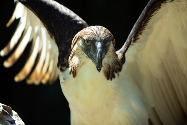 "A ""Philippine Eagle"" spreads its wings inside a sanctuary in Davao city, Philippines, 10 August 2019. The endangered Philippine Eagle is a giant bird of prey and considered to be one of the largest and most powerful among forest raptors that can only be seen in the Philippines. The endangered raptor is threatened by deforestation and hunting. (Photo by Cerilo Ebrano/EPA/EFE)"