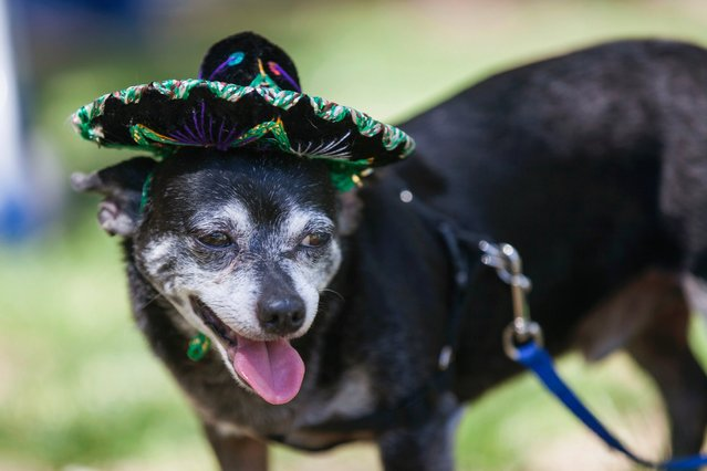 A Chihuahua named Diablo wears a Mexican sombrero during the Chihuahua races held for the Si Se Puede Foundation's Cinco de Mayo Festival in Chandler, Ariz. on May 3, 2014. (Photo by Samantha Sais/Reuters)