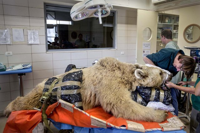 Mango, a 19-year-old male Syrian brown bear, rests on a bed as zoo veterinarians and staff prepare him for surgery in the Ramat Gan Zoological Center's animal hospital near Tel Aviv, Israel, on May 7, 2014. Surgeons will attempt to repair a herniated disc in the 550-pound bear's back after it was discovered in an x-ray. (Photo by Ariel Schalit/Associated Press)