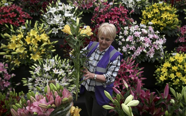 A woman arranges a display of lillies during preparations for the RHS Chelsea Flower Show in London, Britain May 21, 2016. (Photo by Neil Hall/Reuters)