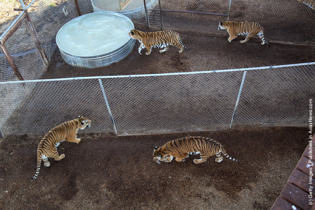 Tigers pace through enclosures at The Wild Animal Sanctuary