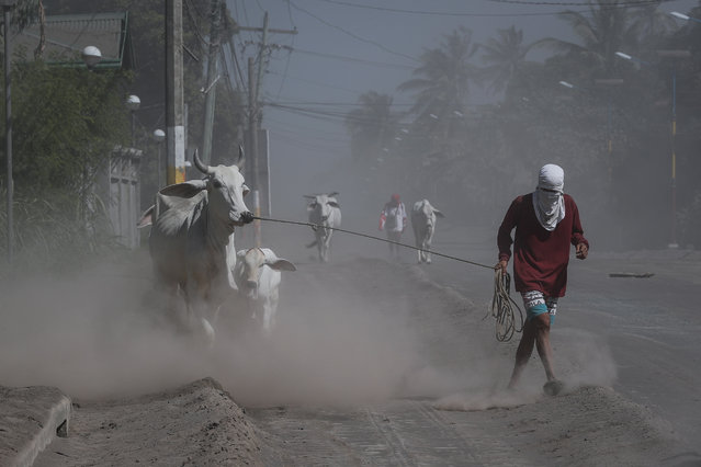 Residents pull their cows along a road in Agoncillo, Batangas, Philippines, 16 January 2020. The Philippine Institute of Volcanology and Seismology (PHIVOLCS) has kept the alert level at four, following Taal Volcano's eruption on 12 January 2020. (Photo by Mark R. Cristino/EPA/EFE)