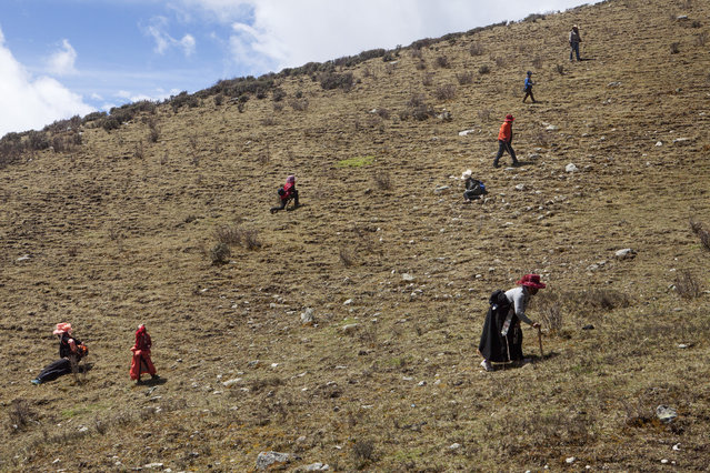Tibetan people  on the mountains in the surroundings of Xiaosumang Township, in search of the prized Caterpillar Fungus on May 31, 2016. (Photo by Giulia Marchi/The Washington Post)