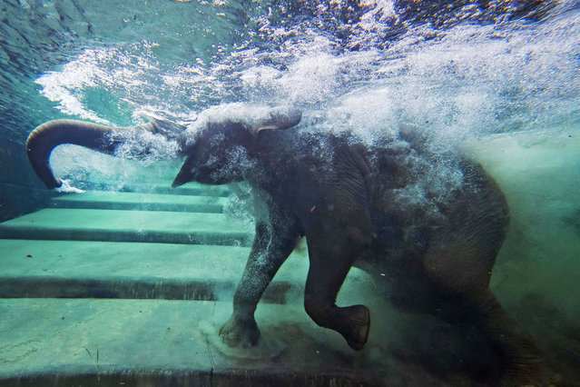 An elephant immerses behind a window in the elephants' indoor pool at the Zoo in Leipzig, Germany, Tuesday, August 5, 2014. (Photo by Jens Meyer/AP Photo)