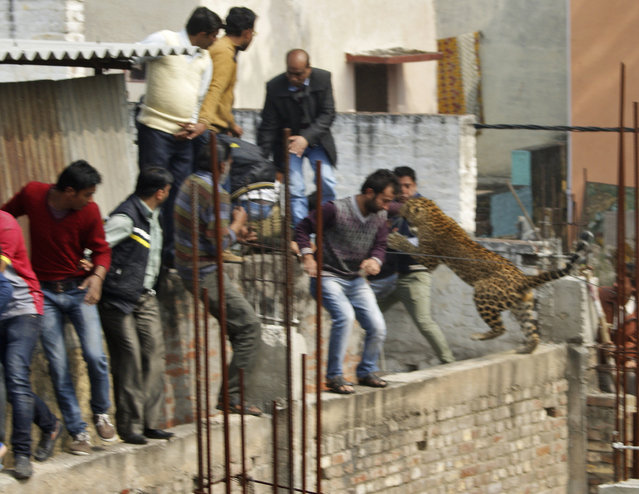 A leopard jumps at people at a structure undergoing construction at a residential area in Meerut, in the northern Indian state of Uttar Pradesh, February 2014. The animal was briefly trapped in an empty ward at a hospital, but it escaped before it could be fully tranquillised. A wild leopard ran through the busy streets of Meerut, a city 40 miles north of New Delhi, India, injuring seven people as officials armed with tranquilizer darts and sticks tried to capture it. One police officer was treated for a large gash in his shoulder. The big cat ran across rooftops, and into a movie theater, a hospital, and construction sites. (Photo by Reuters/Stringer)