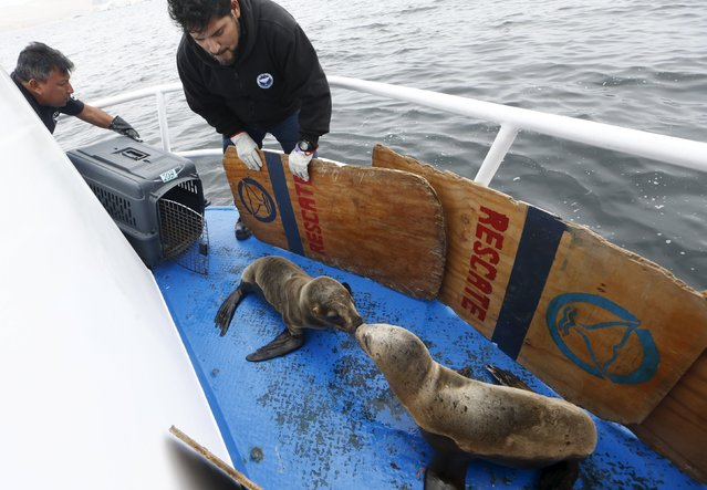 Carlos Yaipen (R), Director of Animal Science and Well-being Organization (ORCA), and a volunteer release sea lions named Fabiana and Job on the deck of a boat in front of Palomino island, in Callao, Peru, September 12, 2015. (Photo by Mariana Bazo/Reuters)