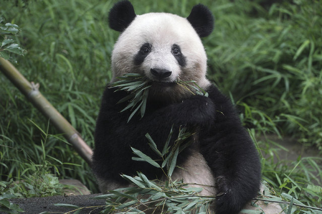 The 3-year old panda cub Xiang Xiang is seen at the reopened Ueno Zoo in Tokyo Tuesday, June 23, 2020. Hundreds of Tokyo residents flocked to Ueno zoo on Tuesday after it reopened for the first time since it closed in February due to coronavirus restrictions. (Photo by Eugene Hoshiko/AP Photo)