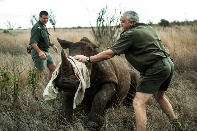 Opperations Manager Marius Kruger (R) and Kruger national Park head veterinarian Dr. Marcus Hofmyer blindfold a young white rhinoceros to minimize stress during a capture on October 17, 2014. (Photo by Stefan Heunis/AFP Photo)