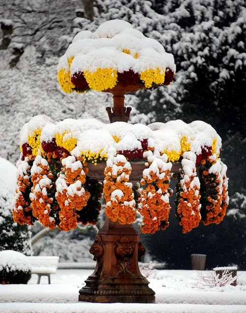 Flowers are covered in snow at the Orangerie park in Strasbourg, France, on November 29, 2010. (Photo by Frederick Florin/AFP Photo)