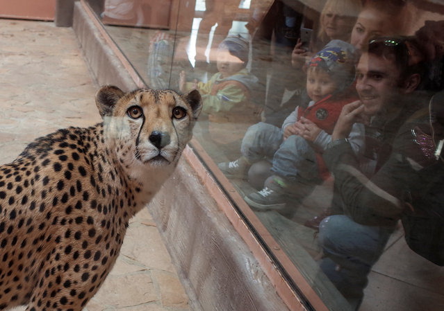 """Visitors look at a cheetah, in a private zoo called """"12 Months"""" in Demydiv, Ukraine, May 2, 2017. (Photo by Gleb Garanich/Reuters)"""