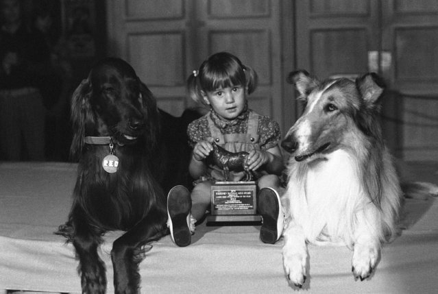 Margaret Ann Morris, 2, of St. Charles, Mo., sits with award presented by Lassie, the TV star, right, to Red, left, a 75-pound Irish setter, in New York, August 17, 1976. The award, sponsored by a pet products company, was given to Red for pulling Margaret Ann out of a flaming car by her coat collar in May 1975. (Photo by Dave Pickoff/AP Photo)