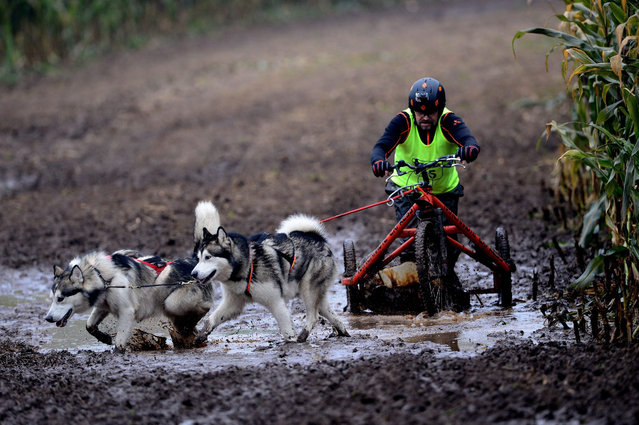 A participant of the sled dogs race in action with the dogs in Stroehen (Lower Saxony), Germany, 18 October 2015. It is the first round of the North German Championship. (Photo by Peter Steffen/EPA)