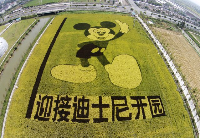 "An aerial view shows rice plants in the shape of Mickey Mouse on a paddy field to celebrate the Shanghai Disney Resort which will be opened in 2016, in Shanghai, China, October 24, 2015. The Chinese characters on the bottom read, ""Welcome Disney Resort's Opening"". (Photo by Reuters/China Daily)"