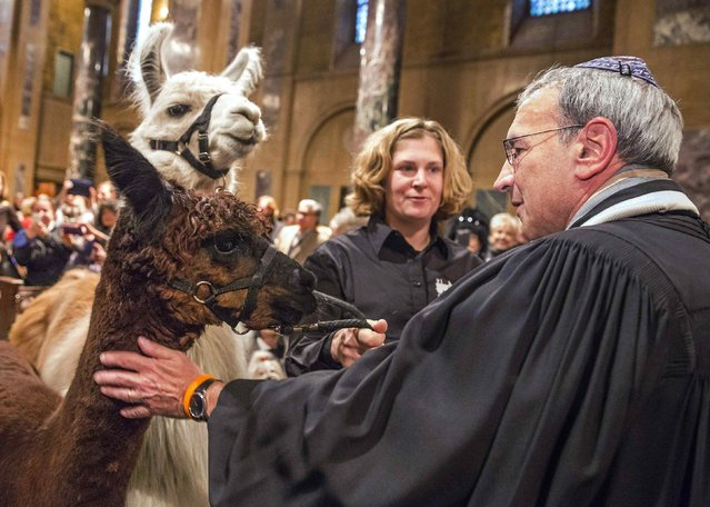 "Farm animals are walked down the aisle and blessed by church officials during the ""Blessing of the Animals"" at the Christ Church United Methodist in Manhattan, New York December 7, 2014. (Photo by Elizabeth Shafiroff/Reuters)"