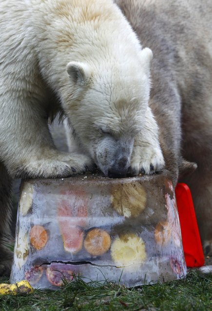 A polar bear eats an ice cake with fresh fruit and cream to celebrate its first birthday in an enclosure at Tierpark Hellabrunn zoo in Munich December 9, 2014. (Photo by Michaela Rehle/Reuters)