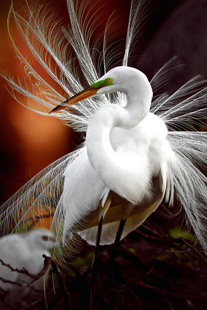 """Displaying"". Egret displaying sexual feathers. Location: Wakodahatchee Wetlands Delray Beach FL. (Photo and caption by Gretchen Kaplan/National Geographic Traveler Photo Contest)"