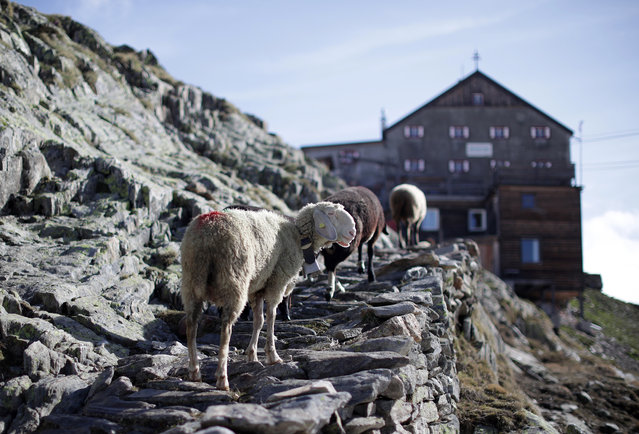 """Sheep make their way up to the mountain shelter """"Schoene Aussicht"""" (Bella Vista) at 2,842 meters above sea level, in the autonomous region of South Tyrol, Italy, June 9, 2018. (Photo by Lisi Niesner/Reuters)"""