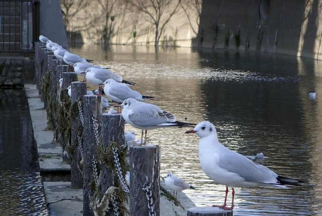 Black-headed gulls sit on pickets at a riverside in Tokyo, Japan, December 27, 2015. (Photo by Toru Hanai/Reuters)