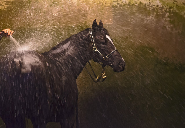 The David Payne trained Ace High is seen having a wash after a Caulfield Cup Carnival Trackwork Breakfast at Caulfield Racecourse on October 16, 2018 in Melbourne, Australia. (Photo by Vince Caligiuri/Getty Images)