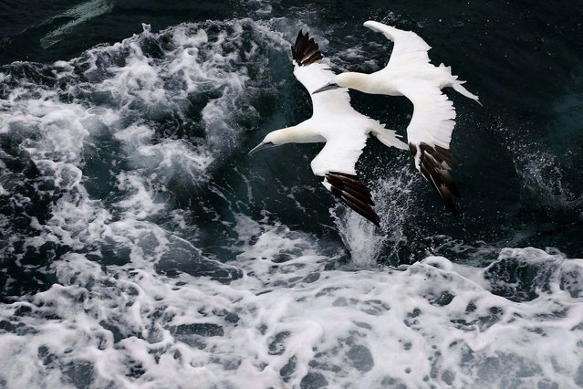 Two Morus Bassanus, known as Northern Gannet (fou de bassan) fly over the waves as a fishing trawler makes it way off the coast of Calais, France, on Oktober 22, 2013. (Photo by Pascal Rossignol/Reuters)