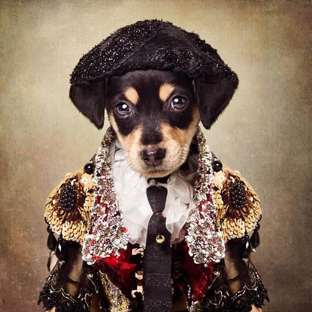 A puppy dressed as a matador, taken in El Dorado, Arkansas, December 2016. The dapper dogs in clothes are back with a second series, and they're feeling festive. Earlier this year we were introduced to UCAPS' well dressed canines available for adoption. Photographer Tammy Swarek came up with the idea of dressing up rescue dogs to draw attention to their stories and help potential owners personally connect with them. Tammy, from Arkansas, drew her inspiration from Facebook after spotting another portrait project for sheltered animals. So she contacted her local dog shelter, the Union County Animal Protection Society (UCAPS) and has worked closely with shelter manager Tanja Jackson ever since. (Photo by Tammy Swarek/Barcroft Images)