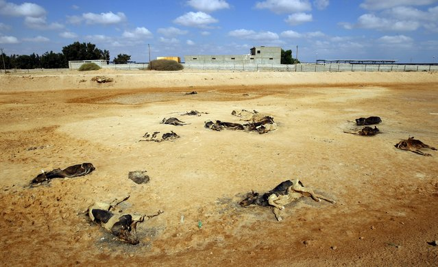 Carcasses of cows killed in clashes between anti-Gaddafi and pro-Gaddafi forces are seen on the outskirts of Misrata September 14, 2011. (Photo by Goran Tomasevic/Reuters)