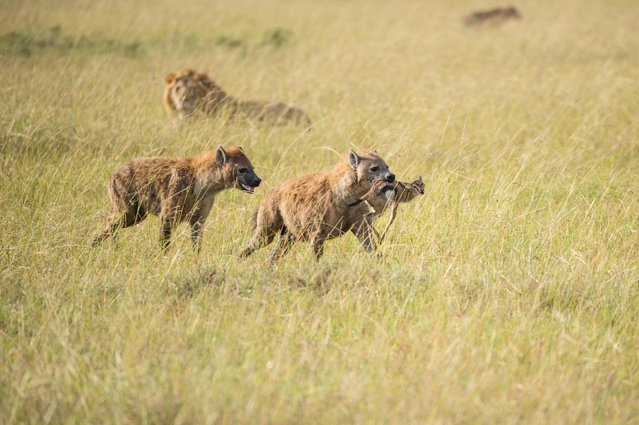 Hungry hyenas run off with Thomson's gazelle, in Masai Mara, Kenya, August 2015. (Photo by Ingo Gerlach/Barcroft Images)